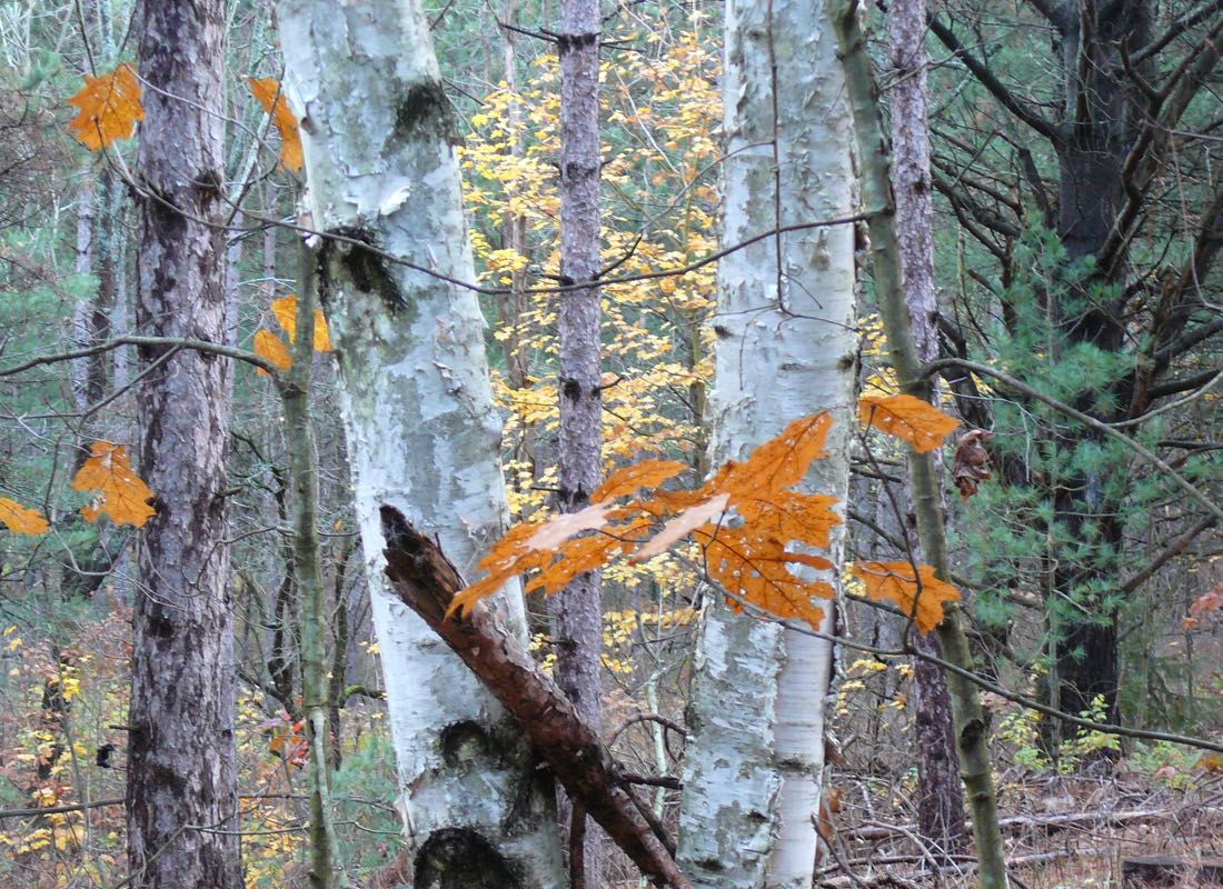 Ganaraska Forest Birch in Autumn
