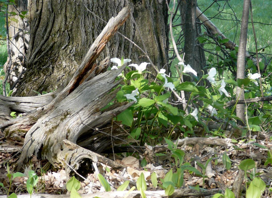 Ganaraska Forest Trilliums in Spring