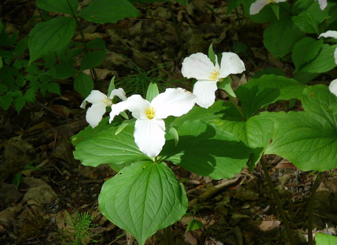 Ganaraska Forest Spring Trillum Trio